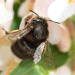 Colin Tomlinson managed to capture this image of a rare Black Bumble Bee on his …
