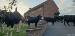 Stray cows shock Trowell couple returning from a meal out....