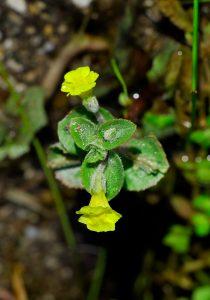 Photo of Mimulus glabratus var. jamesii (Yellow Monkey-flower)