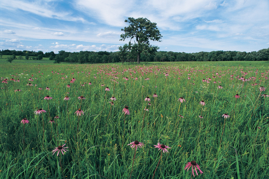 Landscape photo of a tallgrass prairie with wildflowers blooming and a large solo tree in the center