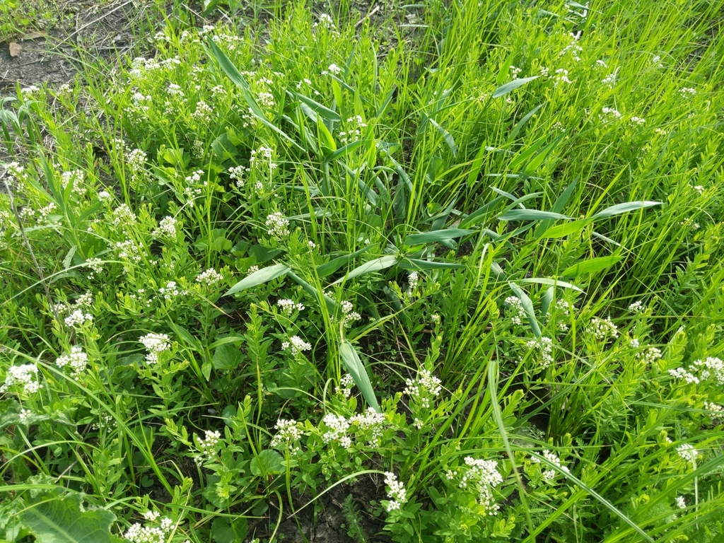 Photo of a patch of Bastard toadflax