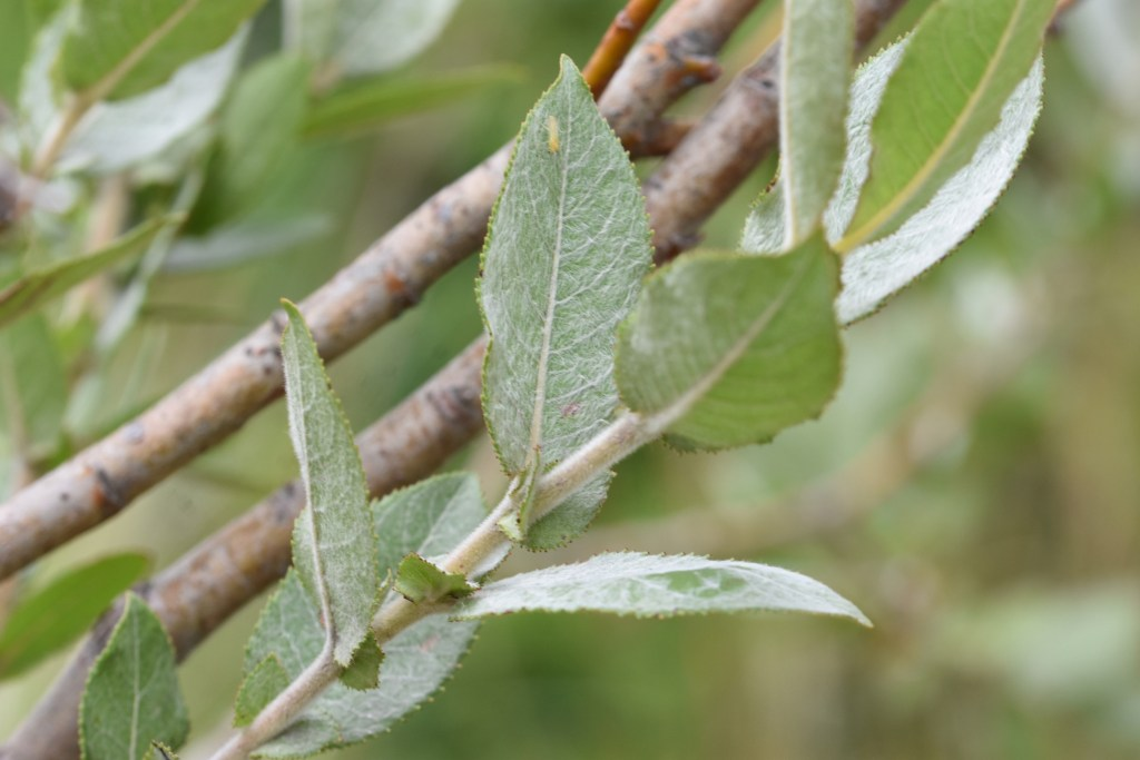 Close up of a branch of Dune Willow