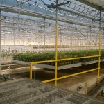 A small section of the 80-acre greenhouse. Most of what is grown is sold through Lowe's stores throughout the Midwest.
