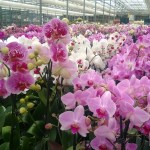 Orchids are one of the most plentiful plants grown in the Granville greenhouse.