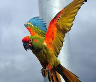Red-Fronted Macaw - Photo by Frank Wouters (originally posted to Flickr as papegaai) [CC-BY-2.0 (http://creativecommons.org/licenses/by/2.0)], via Wikimedia Commons
