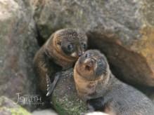 sea lion, Victory Beach, Wildlife, Otago Peninsula