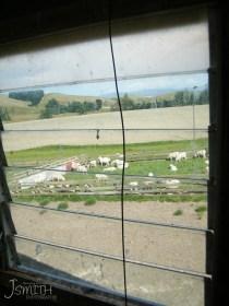 Sheep, Farm, Shearing shed, window