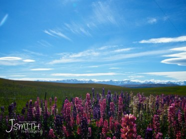 Mountains, Lupins