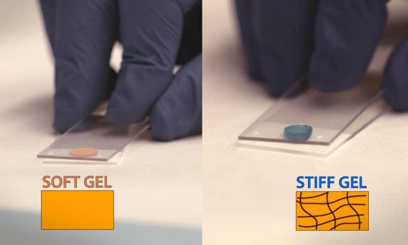 Rispetto ad altri tipi di idrogel in fase di sviluppo (a sinistra), un nuovo idrogel (destra) può formare reticolazioni dopo iniezione nel cuore, rendendo il materiale più rigido e più duratura.