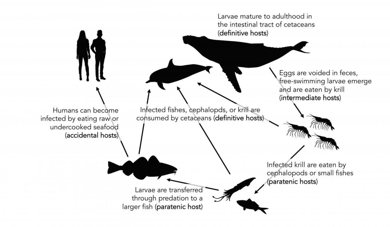 dovrei essere preoccupato per i vermi parassiti nei pesci