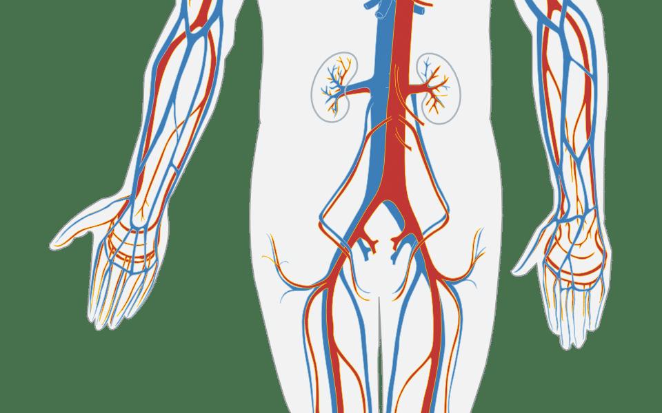 human body, circulatory system, circulation