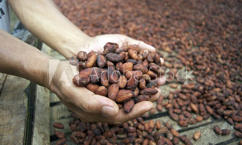 dried,fermented cocoa beans. fine flavour cacao