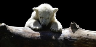 orso bianco