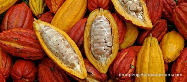 10 Negara Penghasil Kakao Terbesar di Dunia