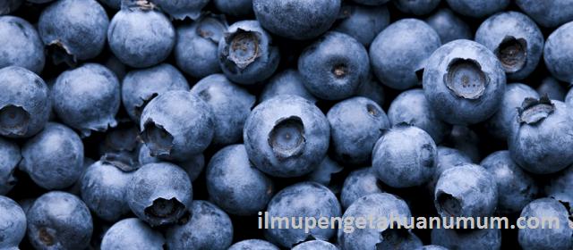 Kandungan Gizi Buah Blueberry dan Manfaat Buah Blueberry bagi Kesehatan