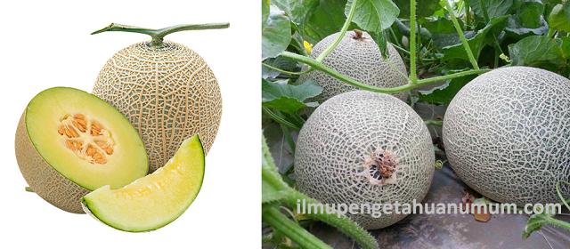 Manfaat Buah Melon dan Kandungan Gizi Buah Melon