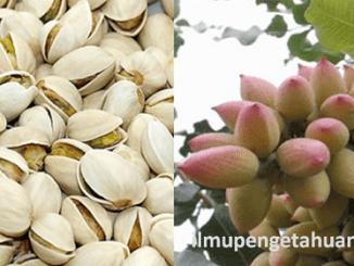 Manfaat Kacang Pistachio dan Kandungan Gizi Kacang Pistachio