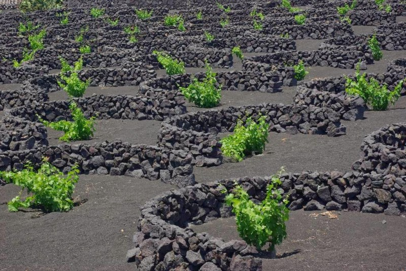 Muretti a secco a protezione delle viti - Lanzarote