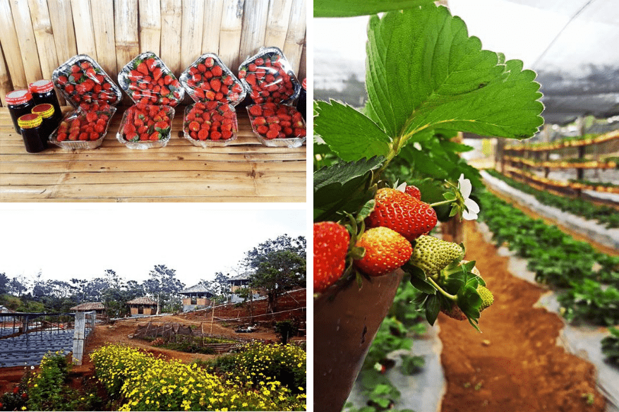 aningalan-farm-strawberries-2