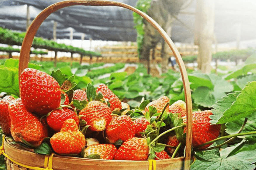 aningalan-farm-strawberries