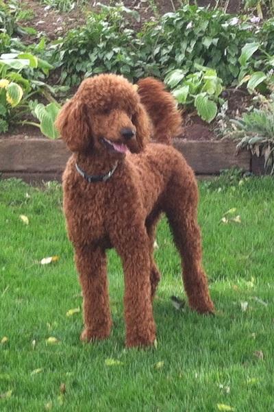 F1b Puppies Goldendoodles