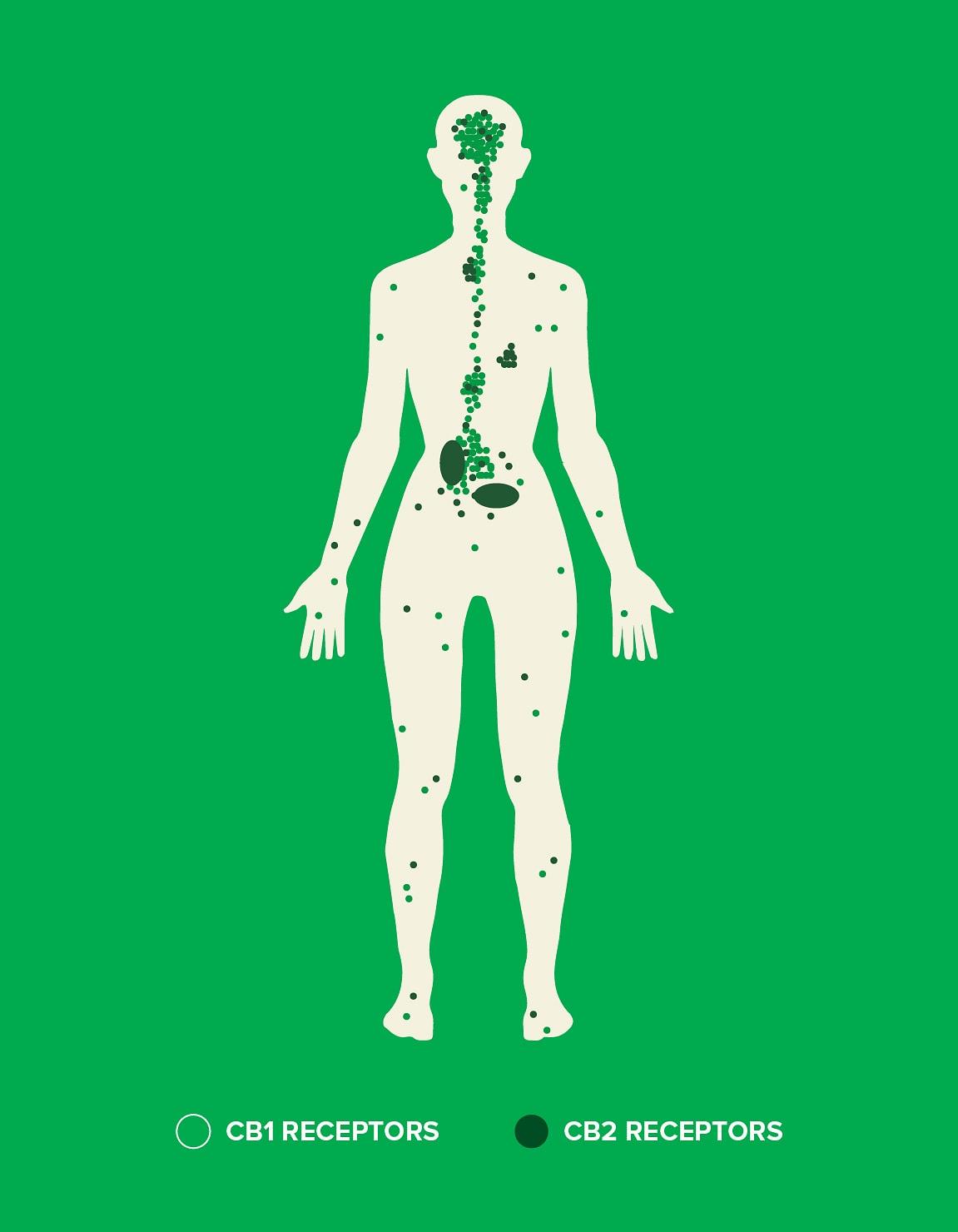 How CBD & the endocannabinoid system works