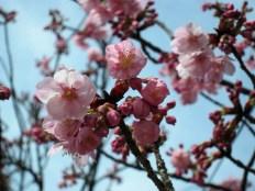 Another shot at the Sakura. Can be addictive!