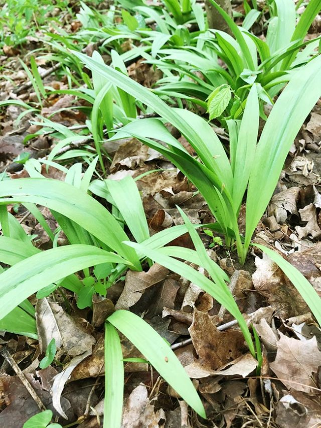 Wild ramps surrounded by dried leaves on the forest floor.