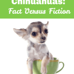 Teacup Chihuahua Facts I Love My Chi