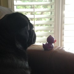 Watch Pug Duty