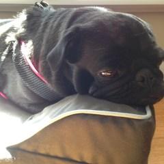 Emotional Pug Humom