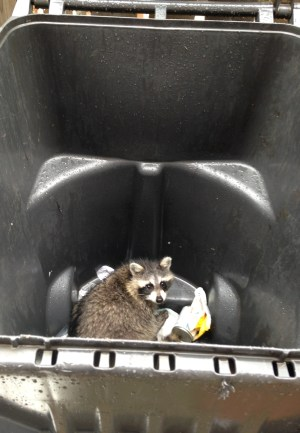 Rabies, Raccons and Dogs Safety