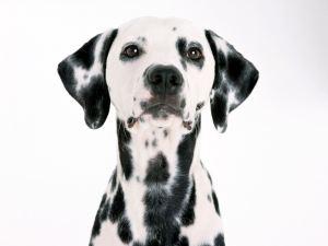 Dalmatian-dalmations-13768000-1600-1200