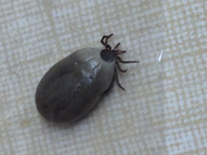 Ticks and Your Pets - Vet Chat with Dr. Ryan Llera