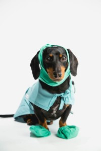 Crusoe the Celebrity Dachshund - #NoBiteIsRight #sp