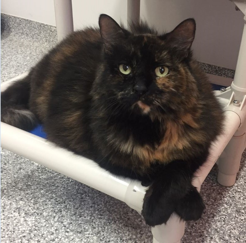 Ontario SPCA, Adoptable Cat of the Week - Widget