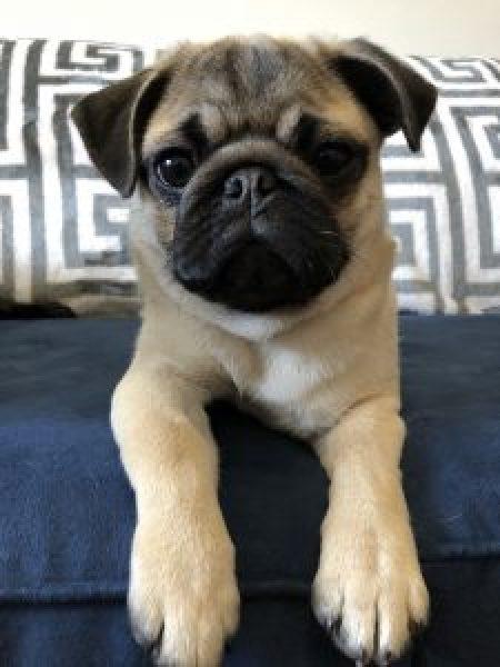 I Want a Pug Puppy!