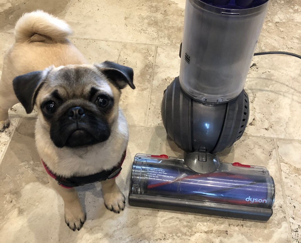 Puppy's First Year - Introducing Puppy to Vacuum