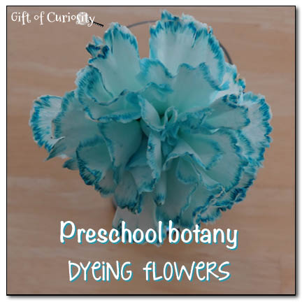 Dyeing-flowers-Gift-of-Curiosity