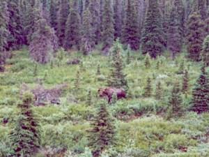 Denali NP moose
