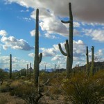 Organ Pipe Cactus NM boxing saguaro
