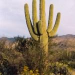Saguaro NP Saguaro East