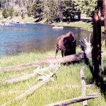 Yellowstone NP bison