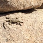 Joshua Tree Lizard