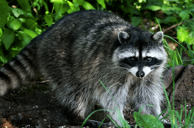 rabies alert in west newton due to raccoon