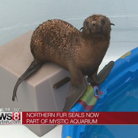 Rescued Fur Seal Pups at Mystic Aquarium