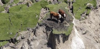 cows stranded earthquake