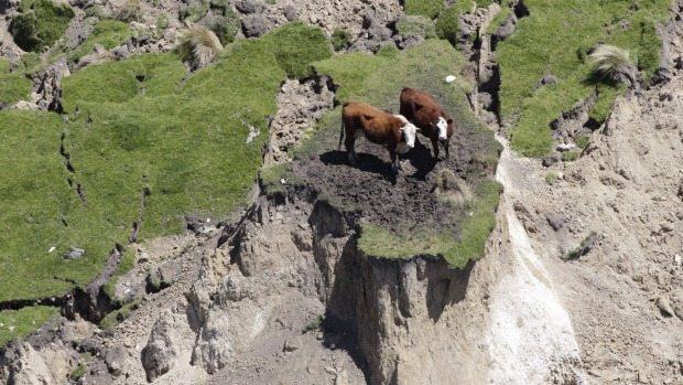 cows-stranded-earthquake