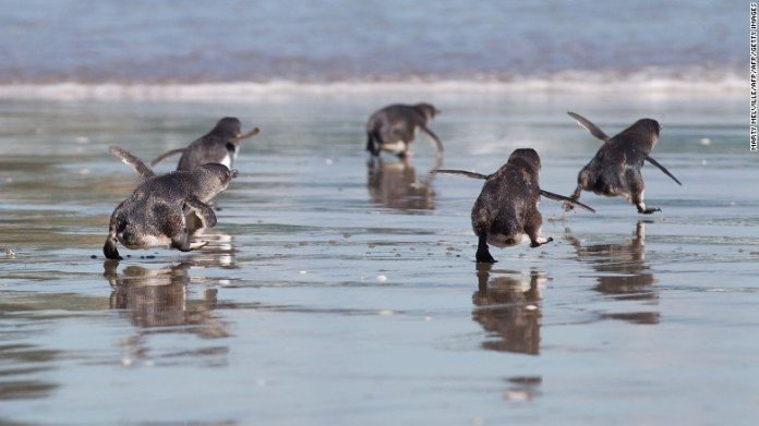 little-blue-penguins nz