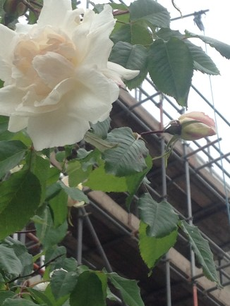 SCAFFOLDING AND ROSES
